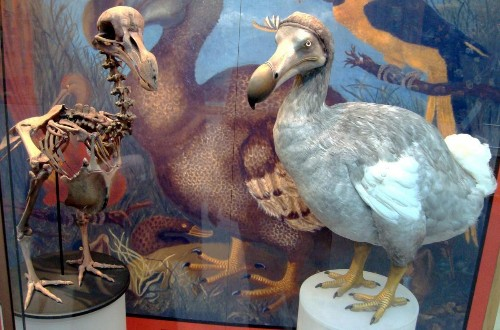 Dodos: Smarter Than Most People Think