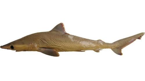 New Shark Species May Already Be Extinct- Should We Care?