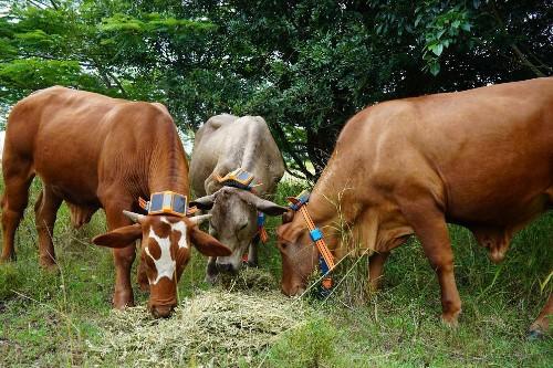 How One Australian Agtech Startup Aims To Revolutionize Livestock Management