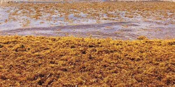 The Caribbean Has A Big Seaweed Problem - And It's Costing Millions