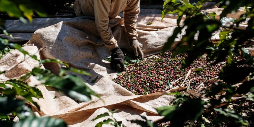 Coffee prices could surge soon as La Nina heat scorches world's largest crop supply