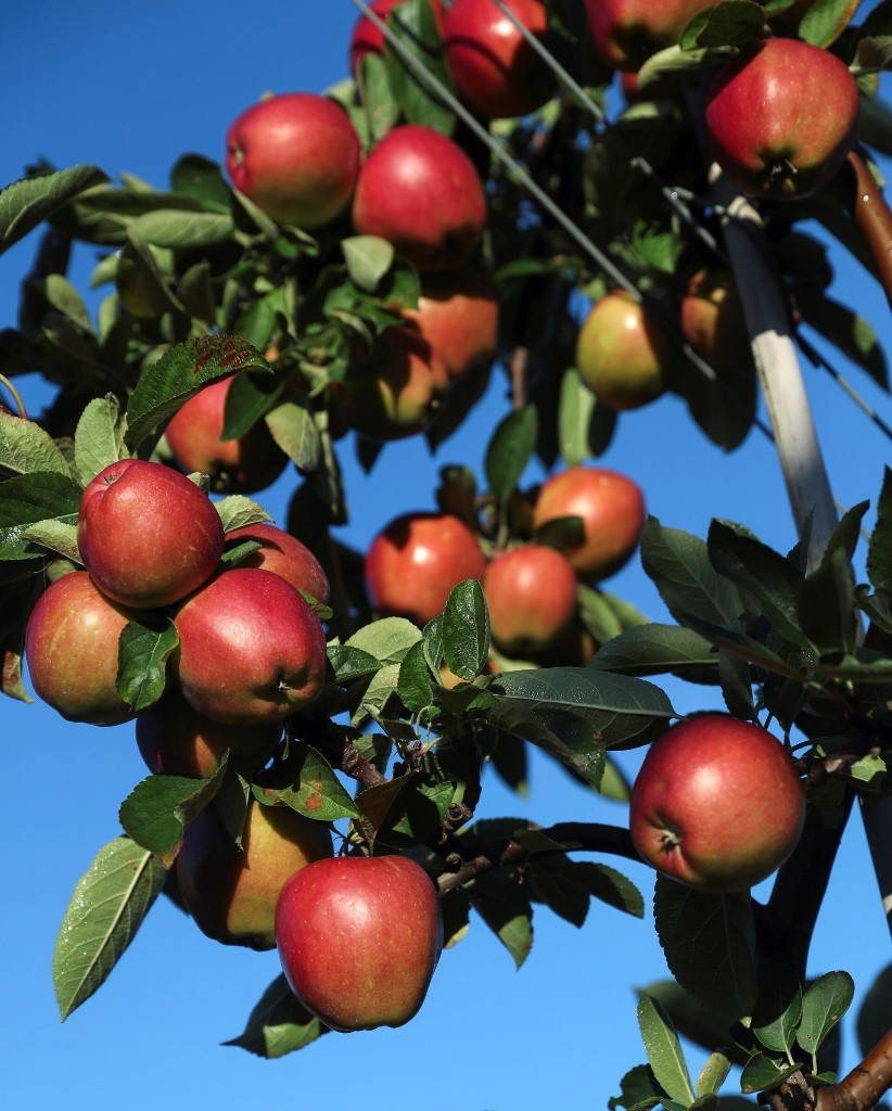 Robots bring apple picking into the 21st century