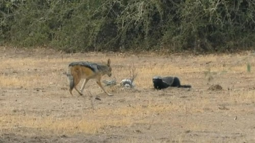 Shocking video of python, honey badger and jackals fighting each other goes viral