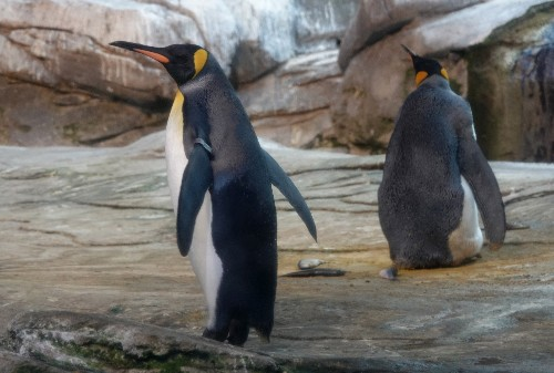 Gay penguin couple steals egg from hetero couple at Dutch zoo