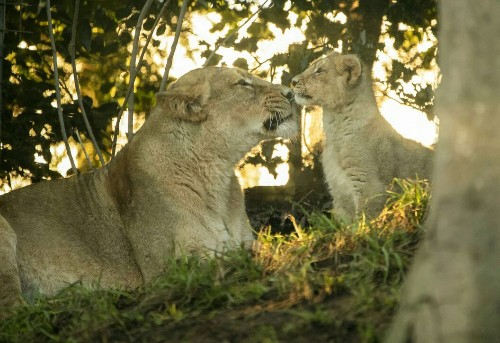 Heart-warming pictures show lion cub nuzzling its mother