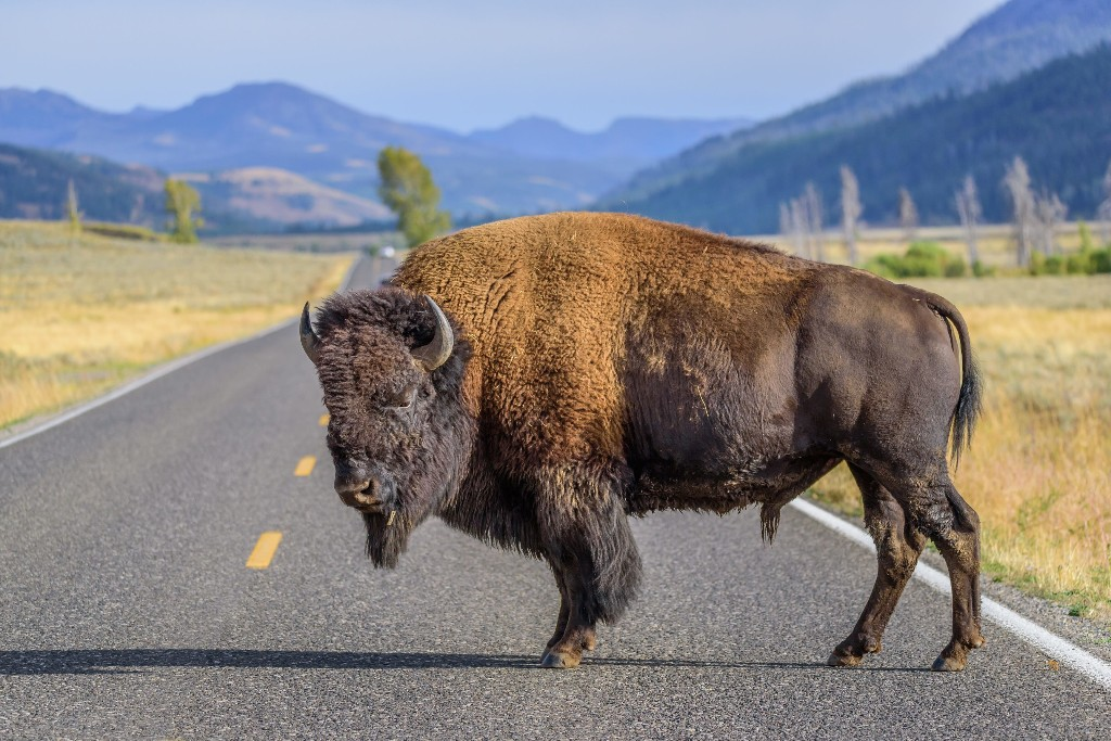 Bison stampede at Yellowstone National Park after tourists get too close: 'I could feel the earth rumbling'