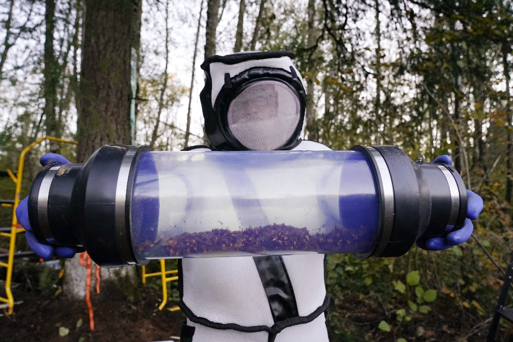 Murder hornets vacuumed from Washington hive by space-suited bug pros
