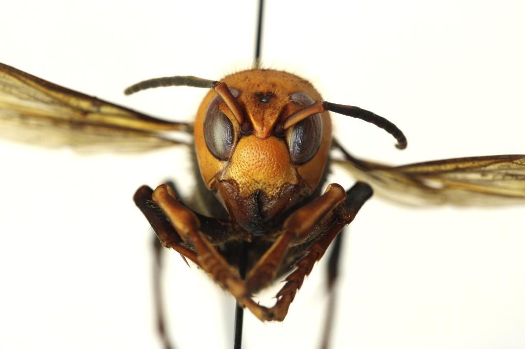 Praying mantis eats murder hornet in frightening video