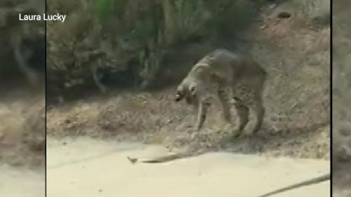 Arizona bobcat's 'surreal' battle with rattlesnake caught on camera
