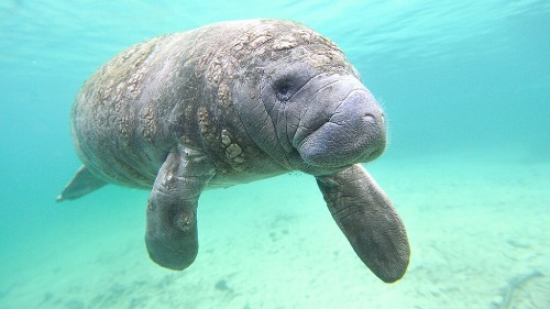 Manatee shocks Florida man when it comes ashore to munch on grass