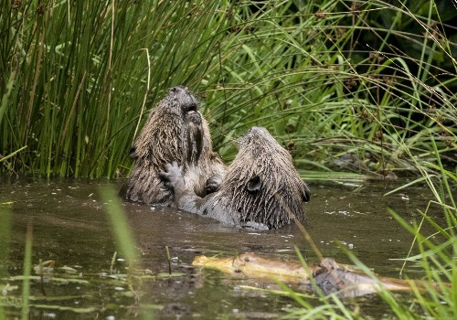 Beaver battle! Watch beavers duke it out in rare footage