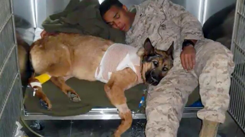 Wounded military working dog the most accomplished in Marine Corps history