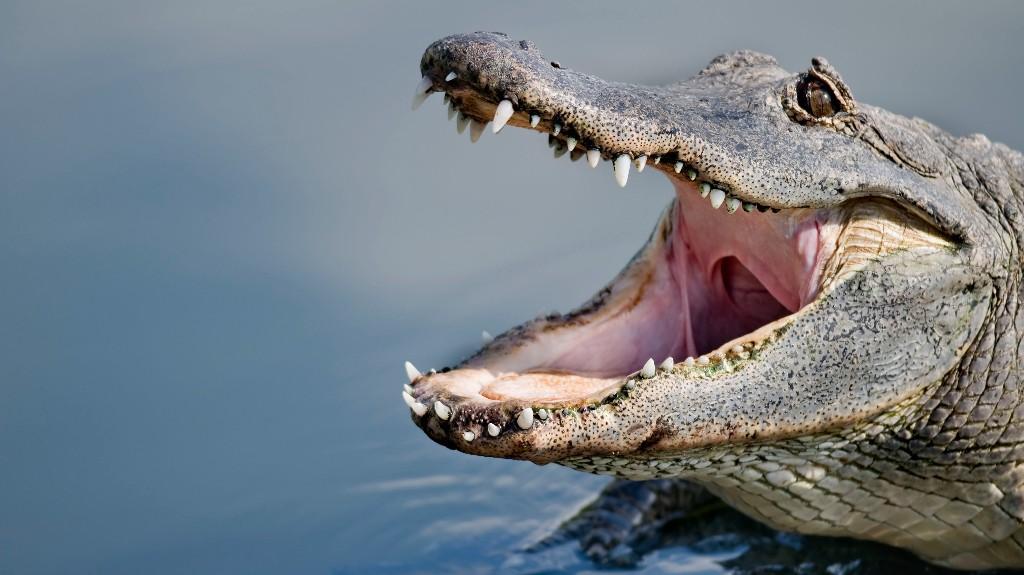 Large alligators filmed wrestling each other in the middle of South Carolina golf course