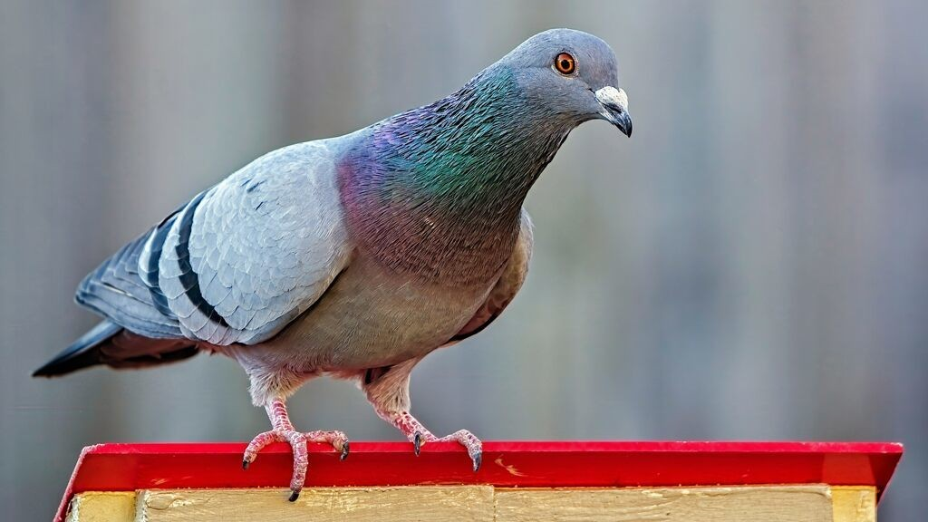 India captures 'spy' pigeon suspected of working for Pakistan: reports