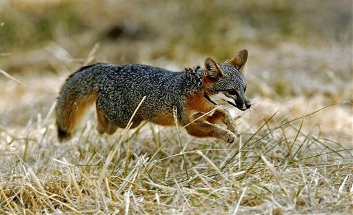 In the 1950s, Russian scientists set out to domesticate foxes, and succeeded