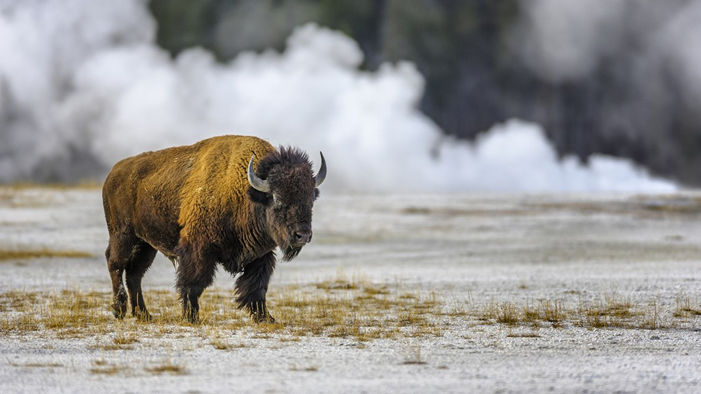 Bison injures woman at Yellowstone Park 2 days after partial reopening