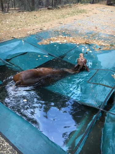 California man saves 'shivering' mule from drowning in pool after devastating Camp Fire