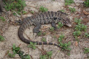 Invasive lizards are threatening wildlife in Georgia, officials say