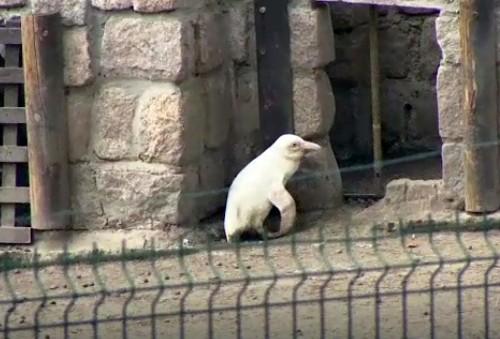 Albino penguin revealed at Polish zoo: report