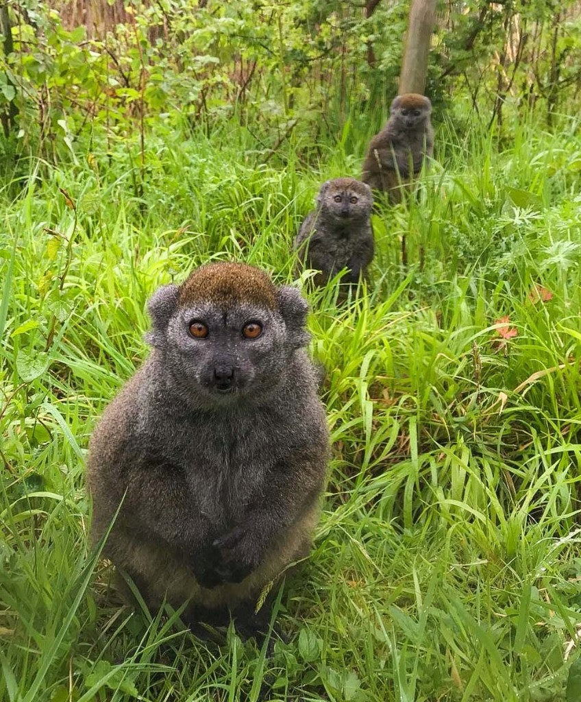 Endangered lemurs are practicing social distancing after new birth