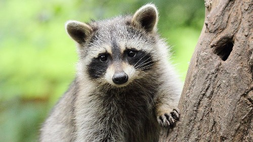 'Drunk' raccoons spotted stumbling around in Canadian neighborhood