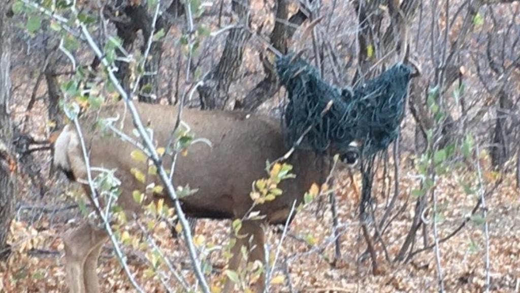 Wildlife officers free Colorado buck with antlers tangled in hammock