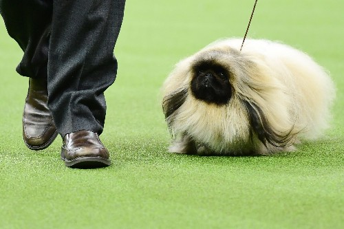 Westminster Dog Show: Everything to know about the 2020 competition