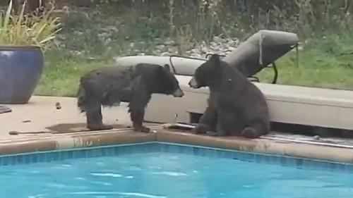 Colorado bears make splash in swimming pool ahead of winter hibernation, video shows