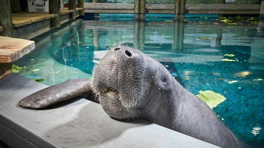Meet Snooty: The world's oldest manatee living in captivity