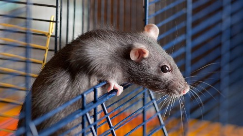 Scientists implant tiny human brains into rats, spark ethical debate