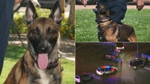 Arizona K-9 police officer killed by fleeing suspect: 'We lost a brother last night'