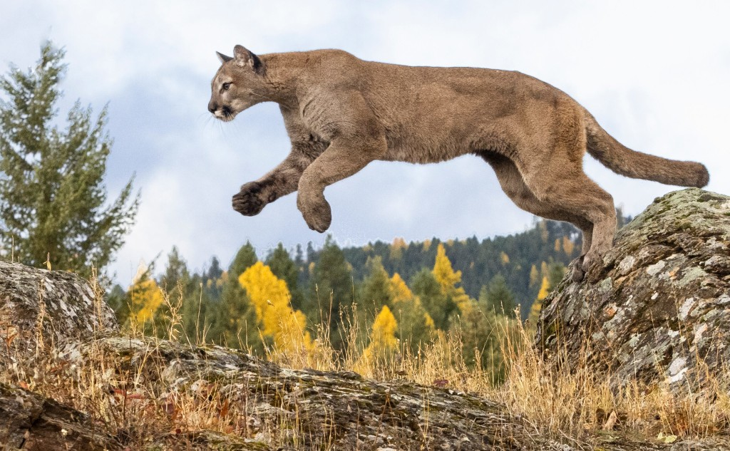 Mountain lion snatches pet dog during hot springs visit
