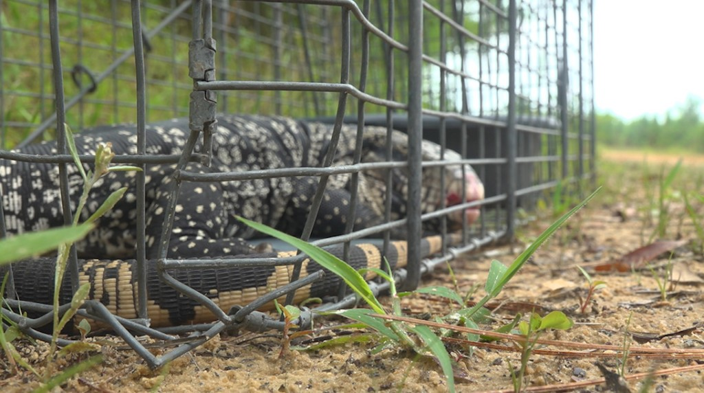 Southern wildlife in jeopardy as giant tegu lizards invade Georgia and Florida