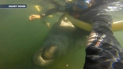 Huge manatee 'hugs' Florida woman, flips her out of water in astonishing underwater footage