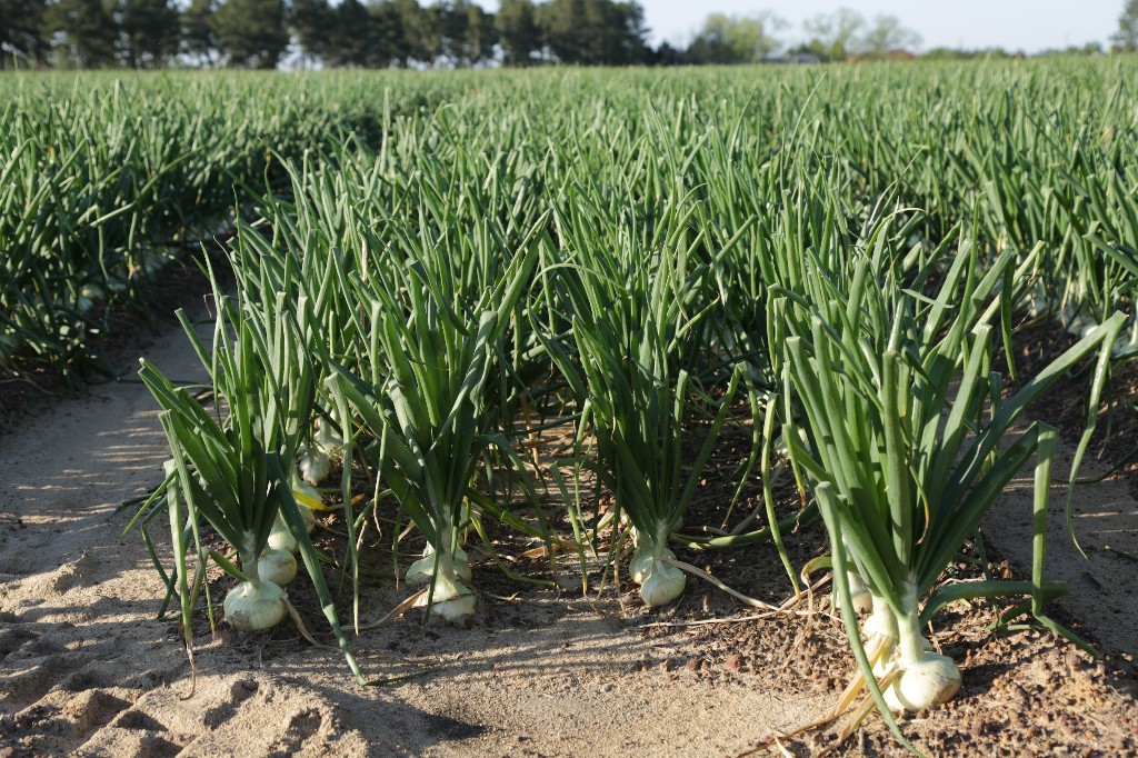 What Makes Vidalia Onions So Great?