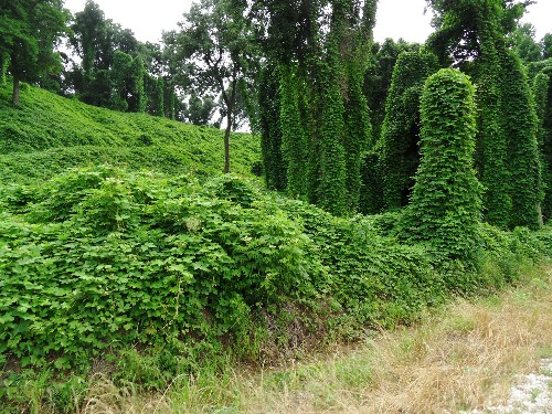 Killer Kudzu: 5 Ways to Defeat the Vine That's Eating the Eastern Seaboard
