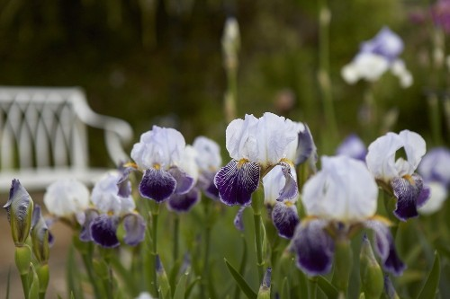 Calling All Gardeners: A Quest to Save Rare Irises