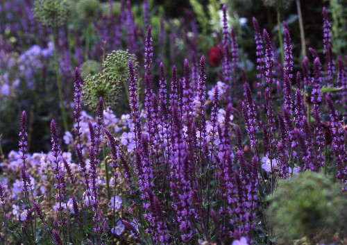 Gardening 101: Salvia