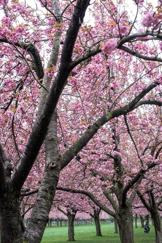 Cherry Blossoms: 6 Flowering Trees to Grow at Home