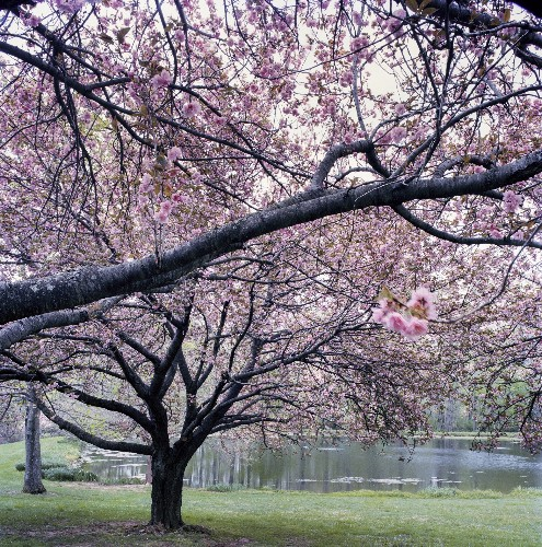 Everything You Need to Know About Flowering Trees - Gardenista