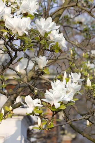 Insider's London: Where to See Magnolias in Bloom