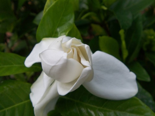 Gardening 101: Gardenia