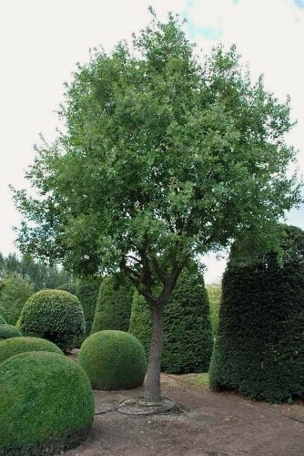 Shopper's Diary: Specimen Trees and Special Shrubs from Solitair Nursery in Belgium