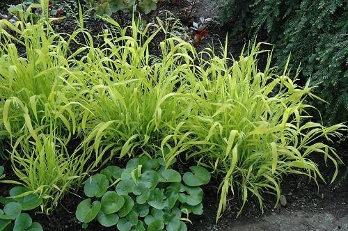 Gardening 101: Bowles' Golden Grass