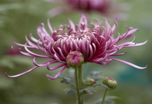 Gardening 101: Chrysanthemums