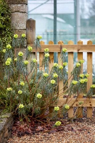 Spurge, Your Secret Weapon: 6 Best Varieties to Plant in the Garden - Gardenista