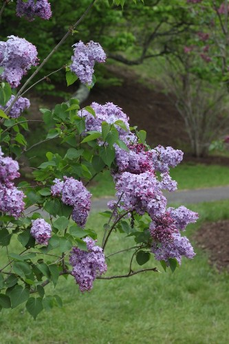 Lilac Love: A Guide to Spring's Best-Loved Flower
