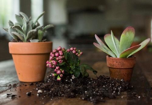Gardening 101: Kalanchoes