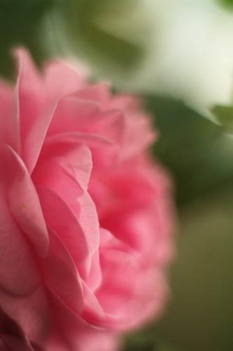 10 Easy Pieces: Fragrant Roses