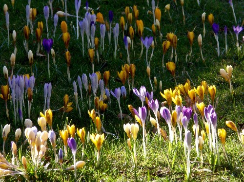 Gardening 101: Crocus - Gardenista